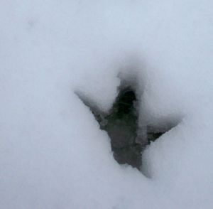 chicken print in snow