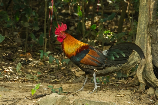 red_junglefowl_-_thailand