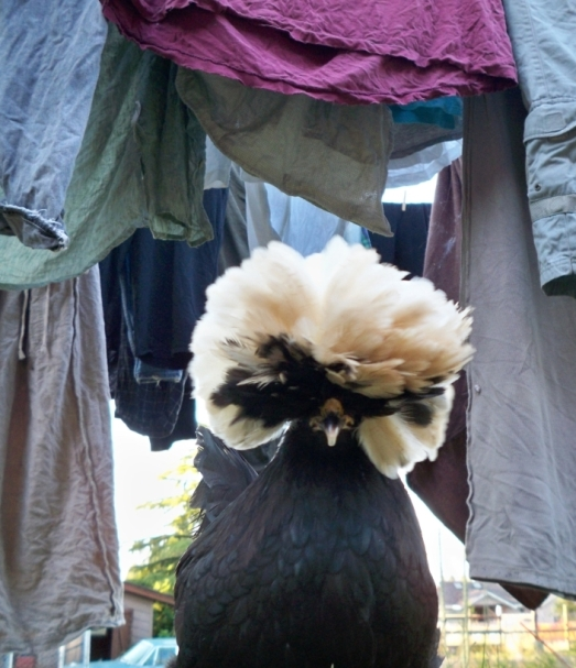 smaller chicken and laundry